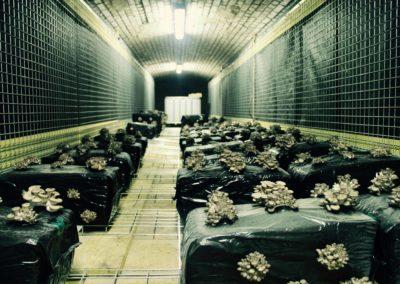 Bunker_comestible_pleurotes1